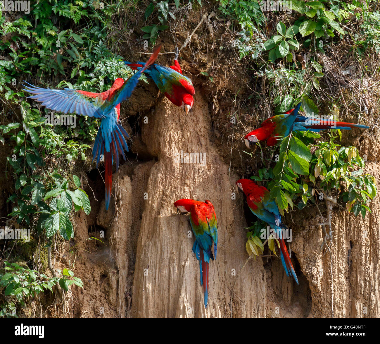 Red and Green Macaws, Blanquillo Clay Lick, Manu National Park, Peru - Stock Image
