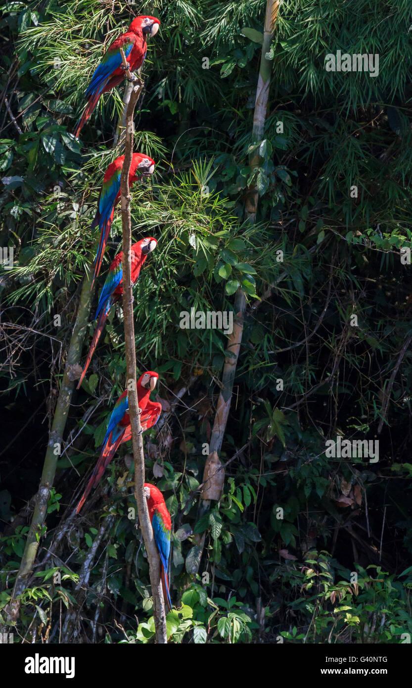 Red and Green Macaws, Manu National Park, Peru - Stock Image