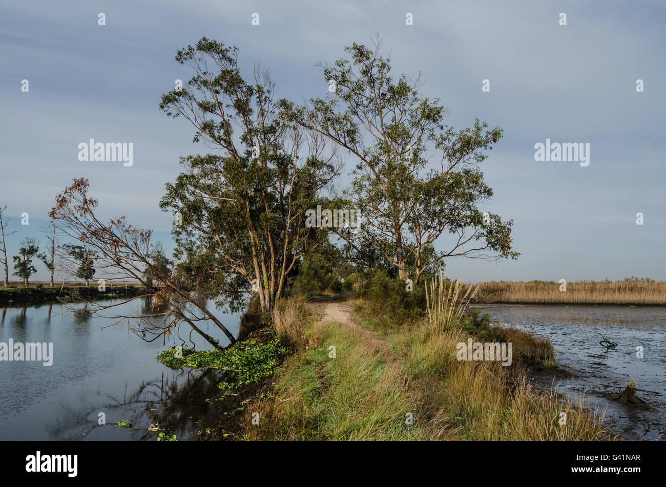 Eucalyptus trees - Stock Image