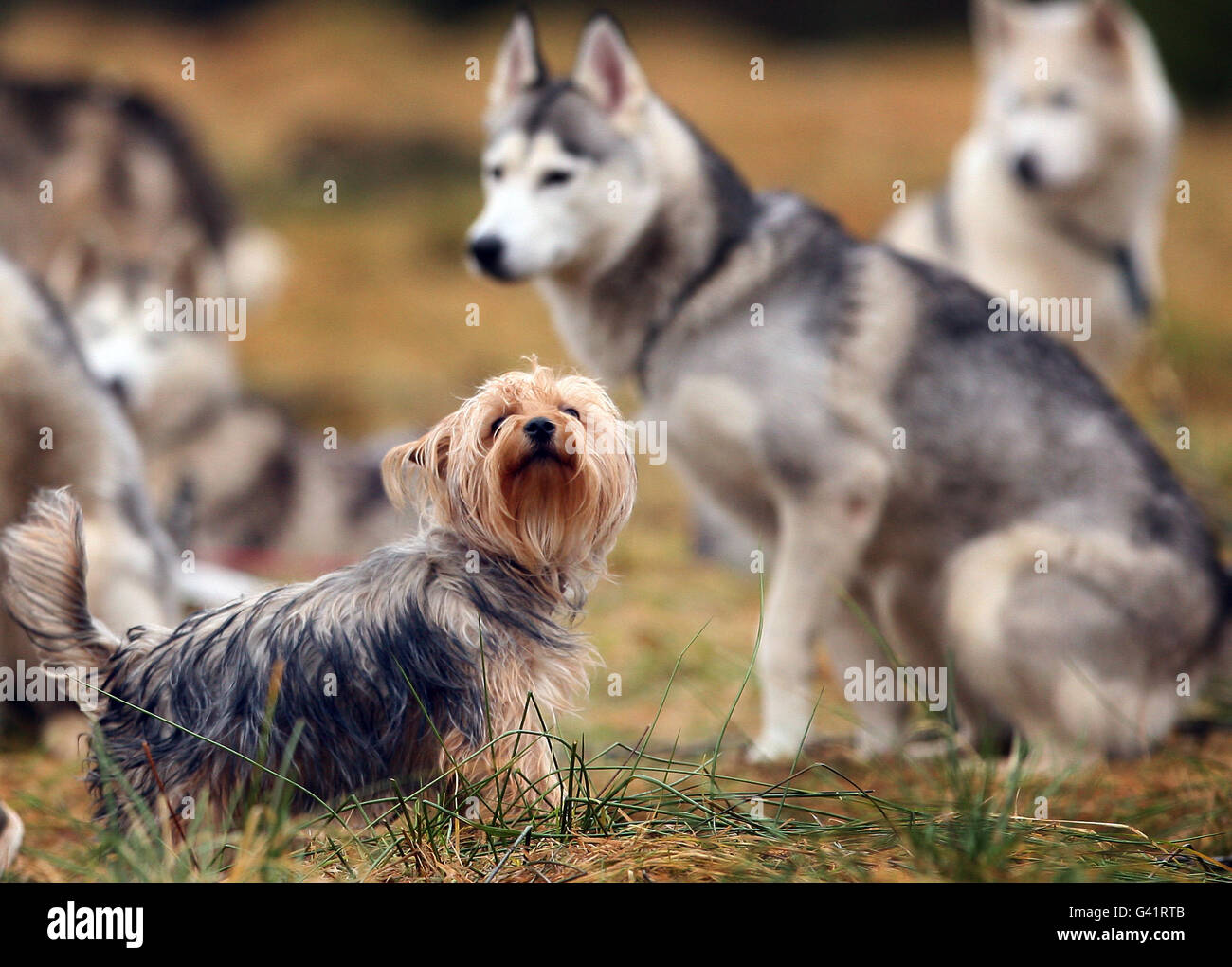 Dogs at the annual rally organised by the Siberian Husky Club of Great Britain in Glenmore Forest Park near Aviemore. Stock Photo