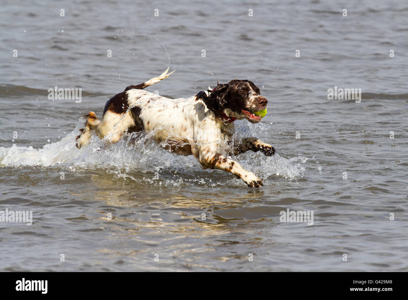 Southport, Merseyside, UK. , . UK Weather: The warm weather brings dog owners to play with their pets on the beach Stock Photo