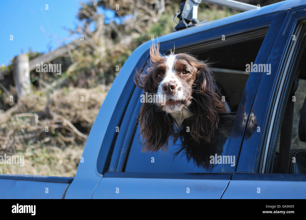Springer Spaniel dog looking out a car window - Stock Image