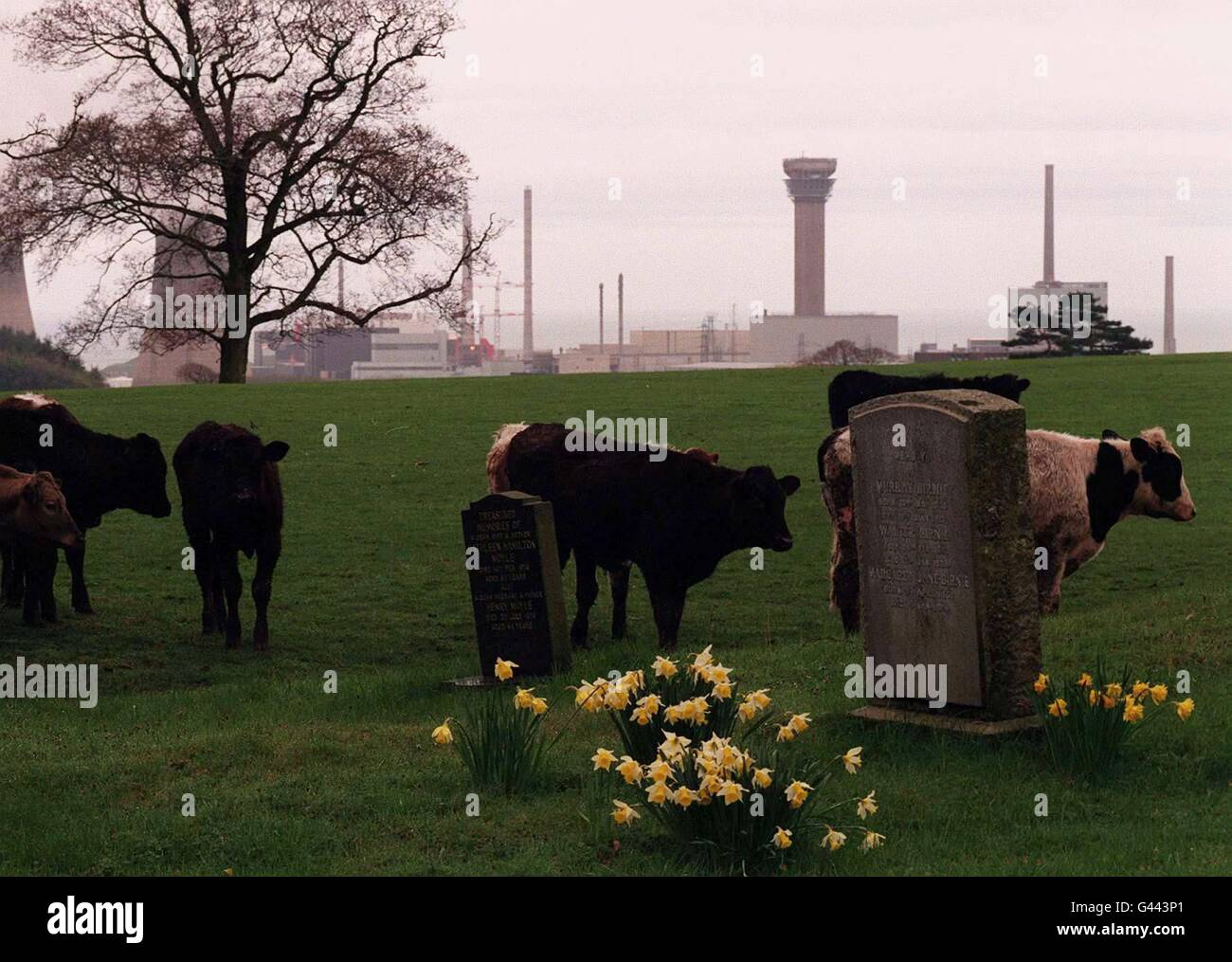 Cattle in graveyard - Stock Image