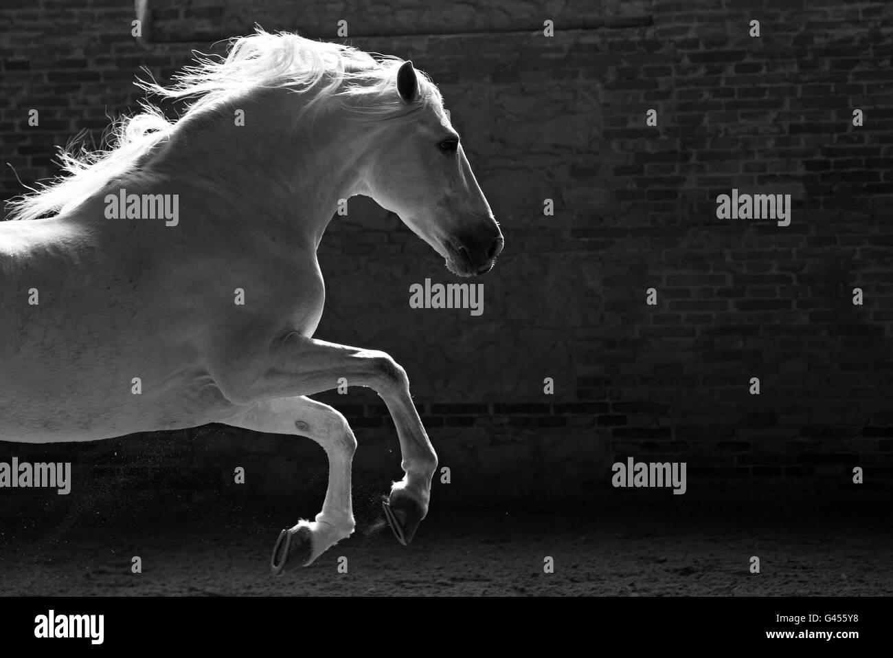 Beautiful White Spanish Stallion playin in indoor arena - Stock Image