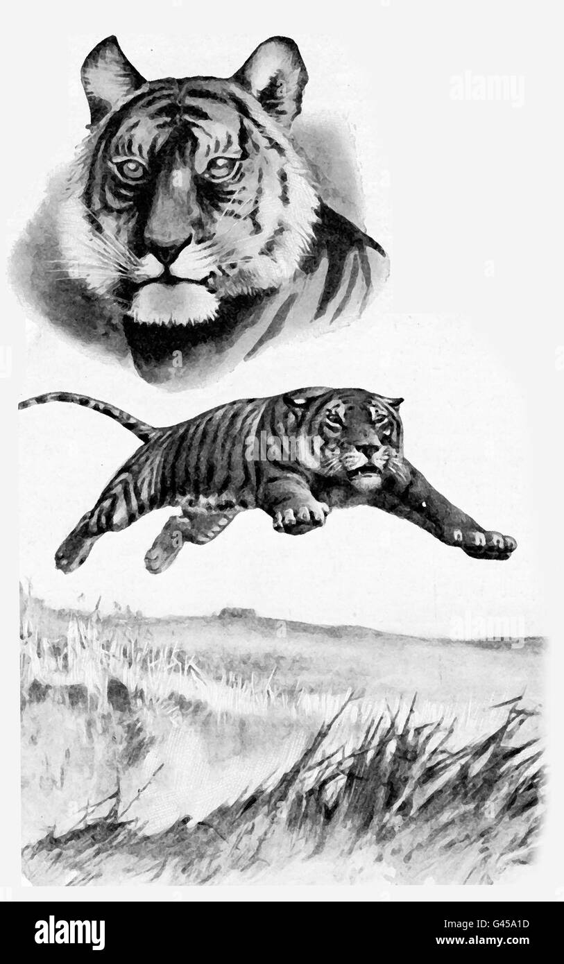 Adventures in the wilderness, angry tiger jumping and tiger portrait - Stock Image