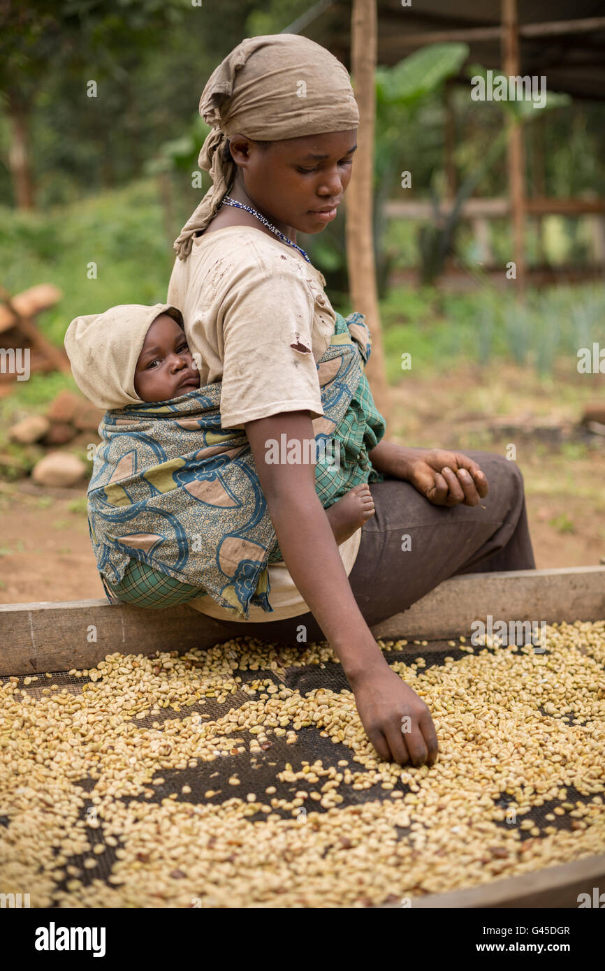 Coffee beans are sorted and dried on drying beds by farmers at a cooperative in Kasese District, Uganda. - Stock Image