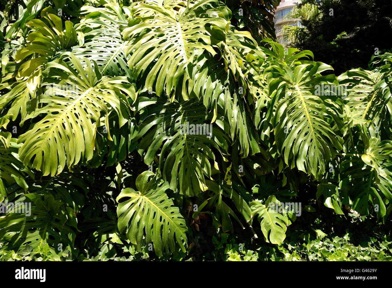 Mexican Breadfruit or Swiss Cheese Plant, Monstera Deliciosa, in garden, Spain. - Stock Image