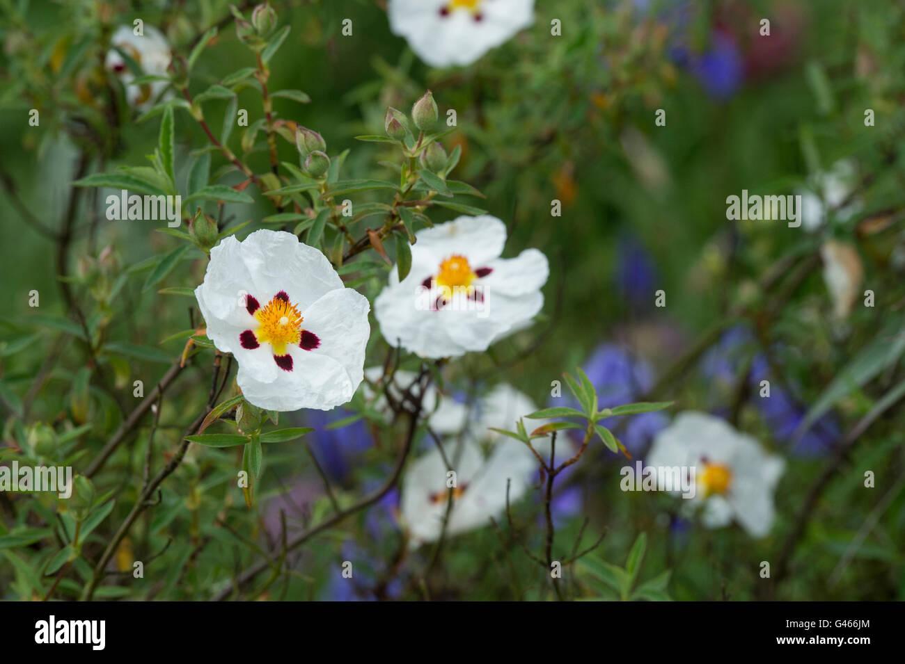 Cistus X Laxus Snow White Rock Rose Snow White Flowers Stock