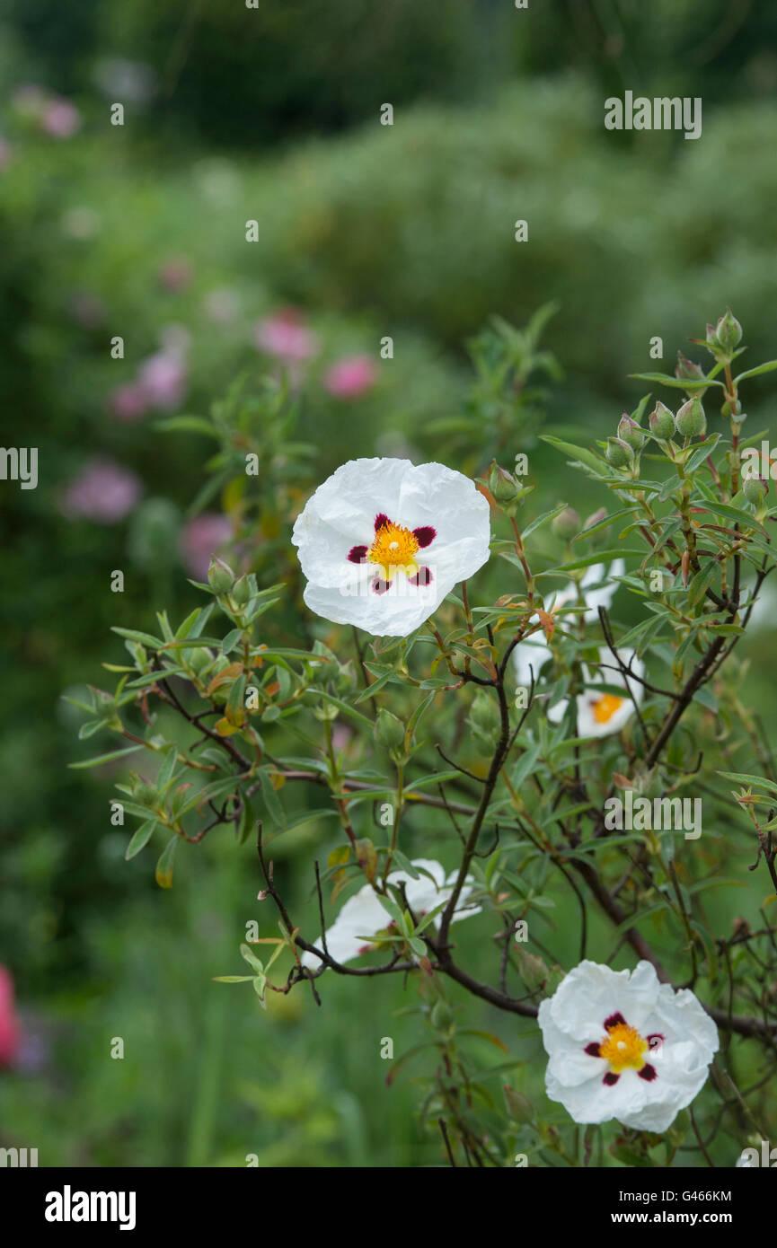 Cistus x laxus snow white rock rose snow white flowers stock cistus x laxus snow white rock rose snow white flowers mightylinksfo