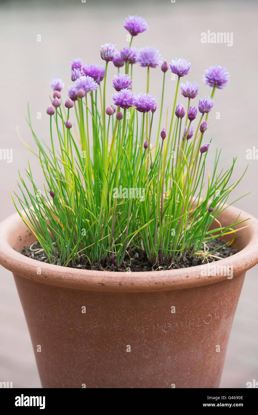 Image of: Chives In Pot High Resolution Stock Photography And Images Alamy