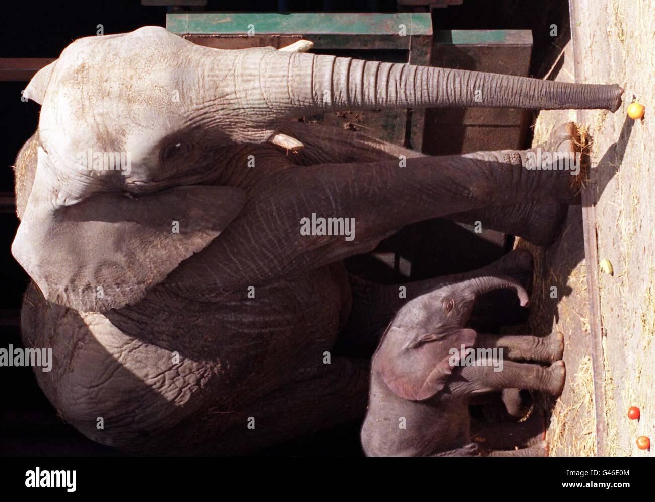 Jumar the elephant & calf - Stock Image