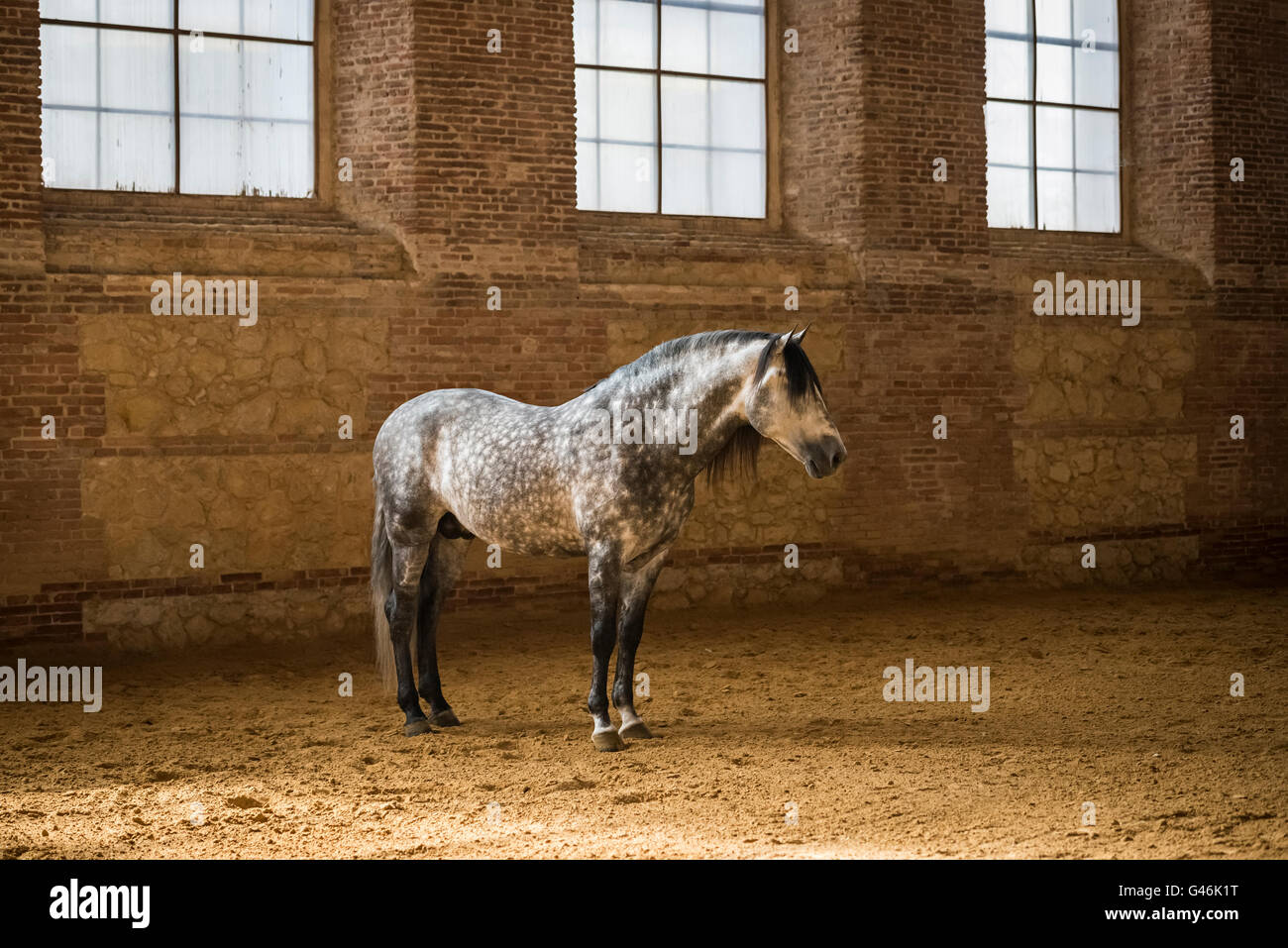 Beautiful Spanish horse stallion standing - Stock Image
