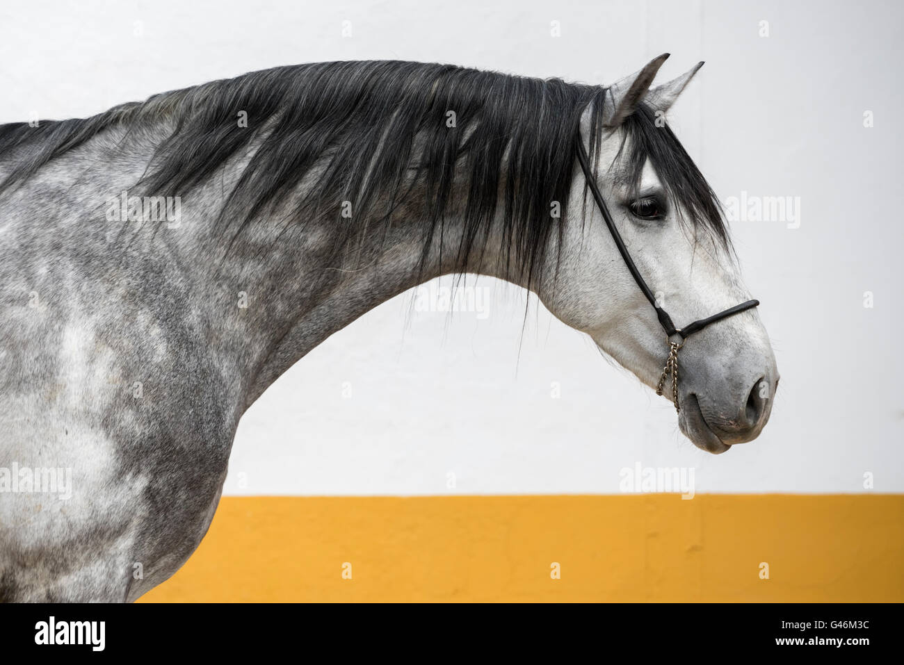 Beautiful PRE stallion portrait - Stock Image