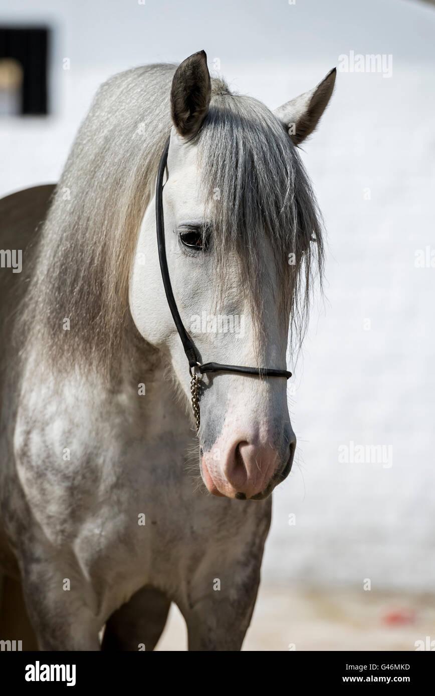 Beautiful PRE stallion portrait - Stock Image