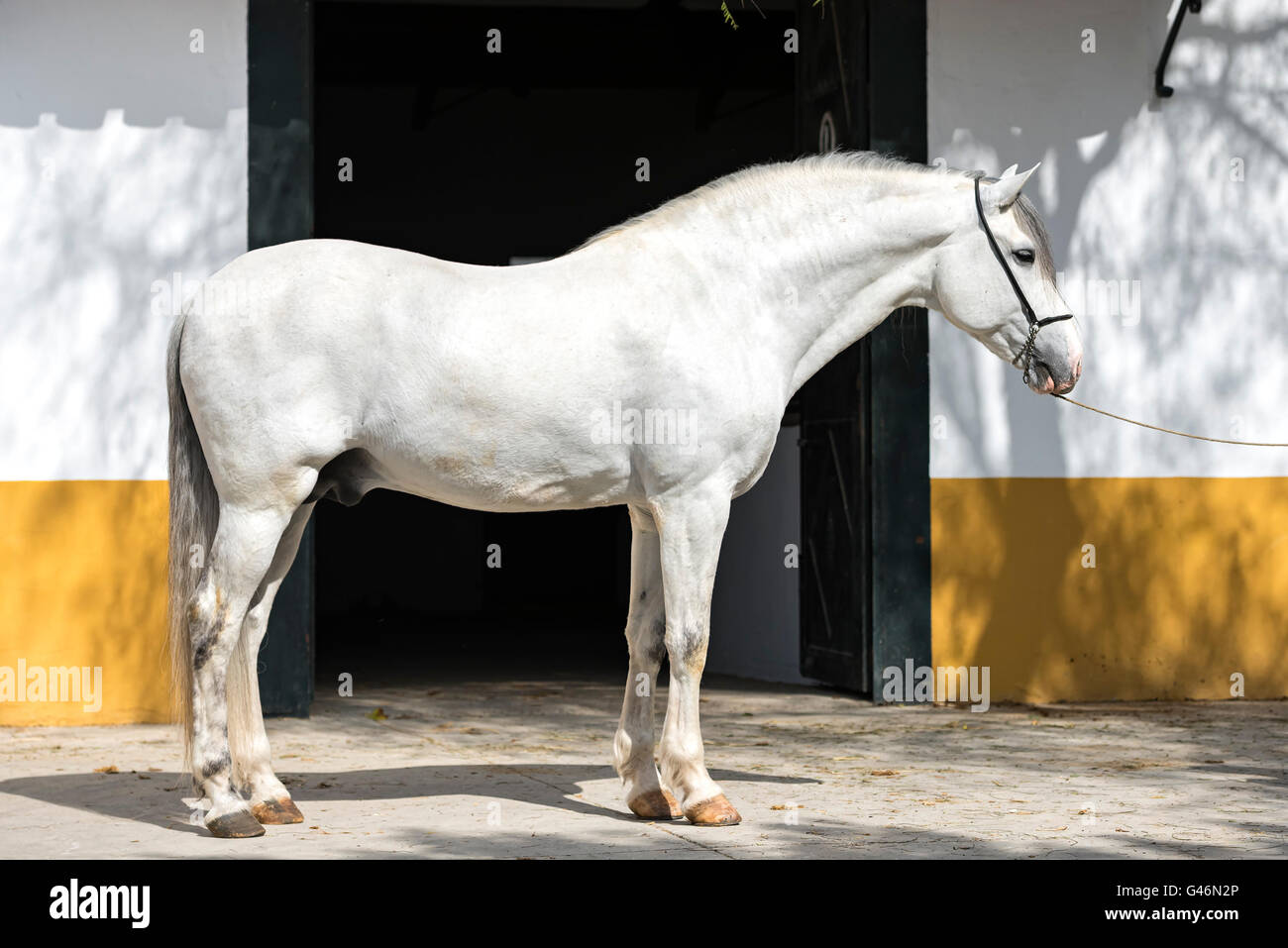Conformation shot of a Spanish horse - Stock Image