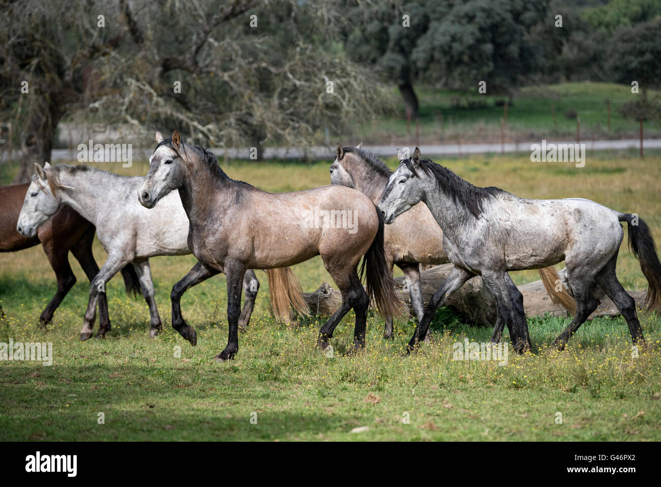 Group of young spanish breed stallion in Spain - Stock Image