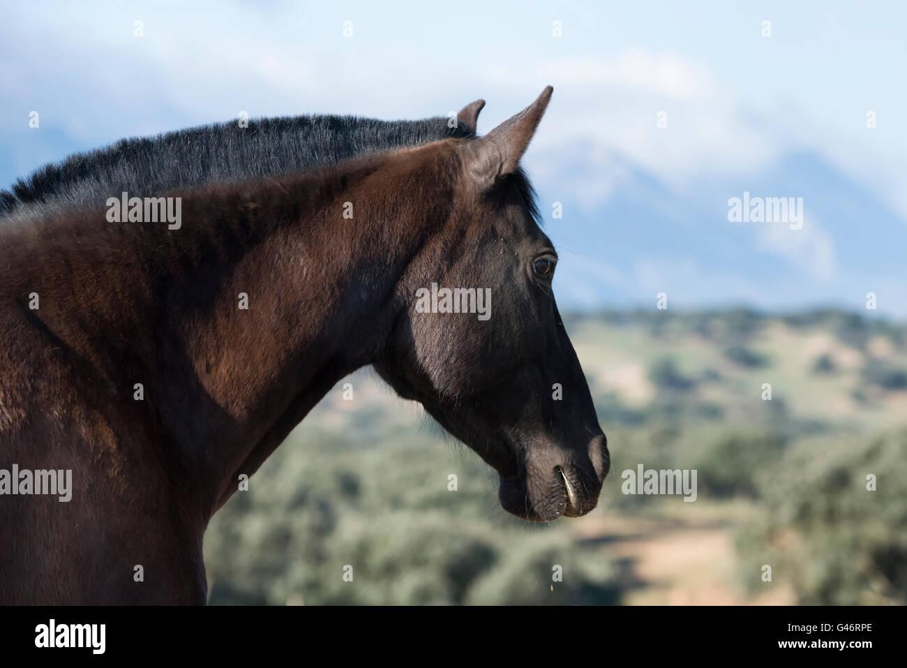 Portrait of a black spanish mare - Stock Image