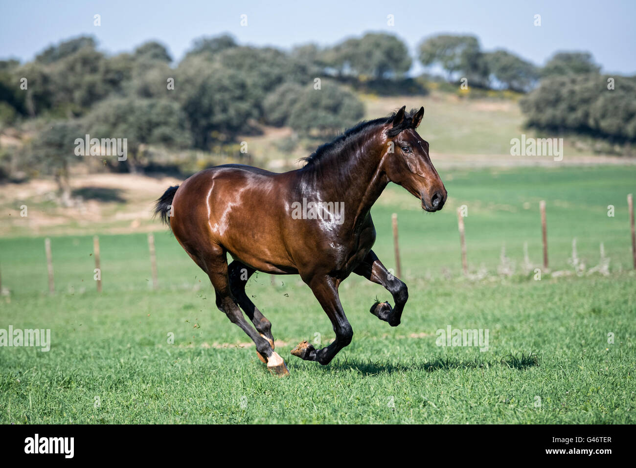 PRE stallion having fun in a pasture - Stock Image