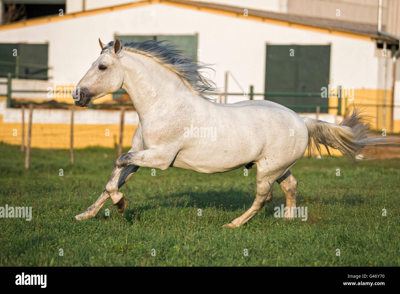 Gray PRE stallion running free in the sunset in Spain - Stock Image