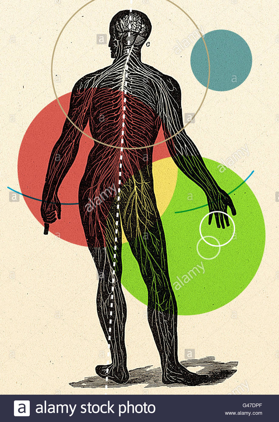 retro medical diagram illustration of human figure man woman veins anatomy anatomical - Stock Image