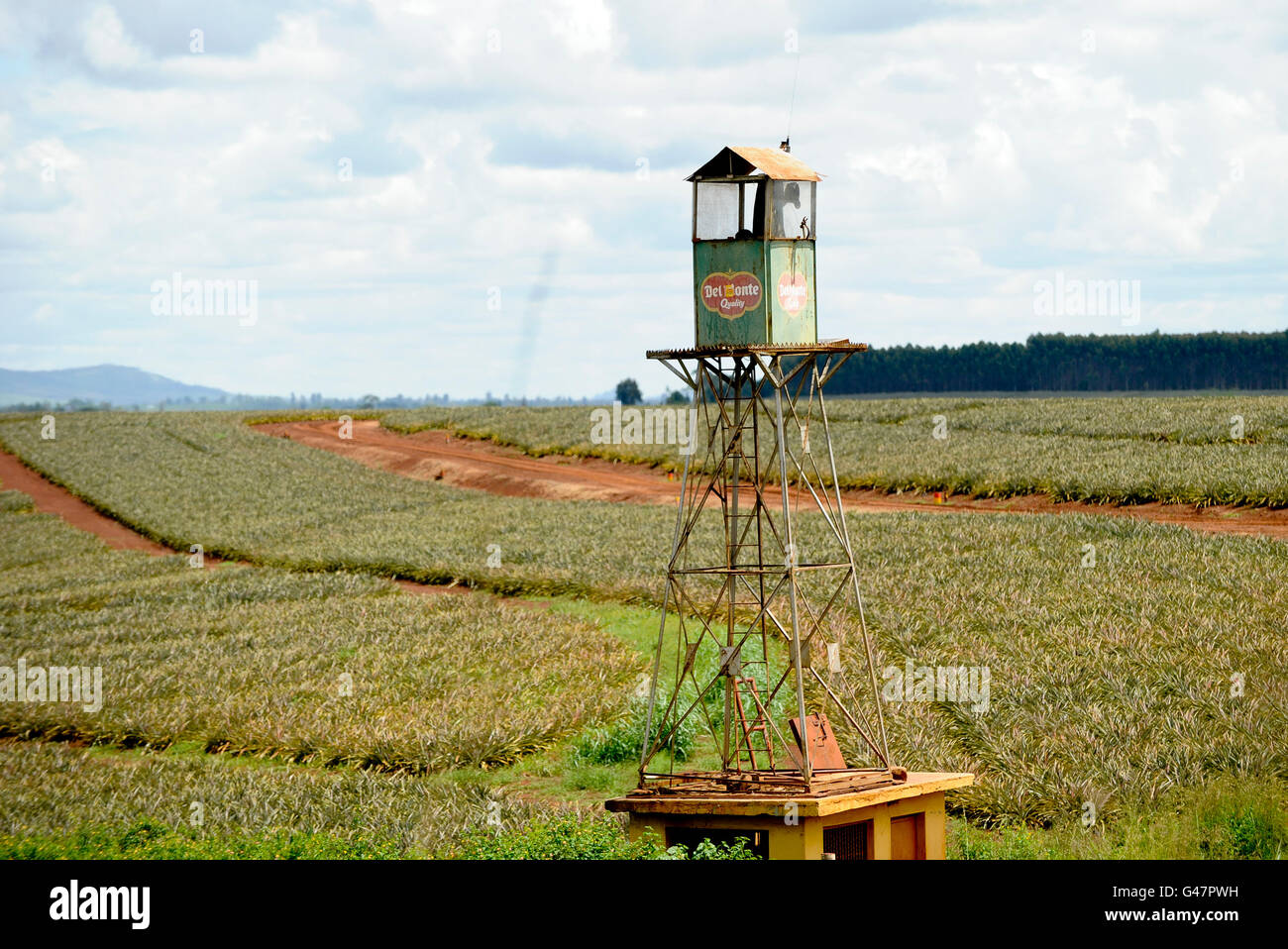 KENYA Del Monte pineapple plantation near Thika / Kenia Anannas Farm von Del Monte Stock Photo