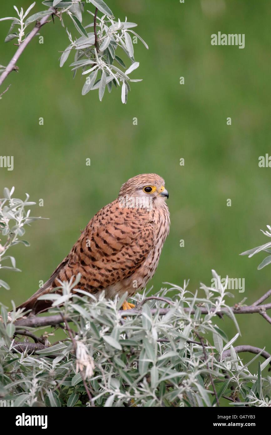 Kestrel, Falco tinnunculus, single female on branch, Hungary, May 2016 - Stock Image