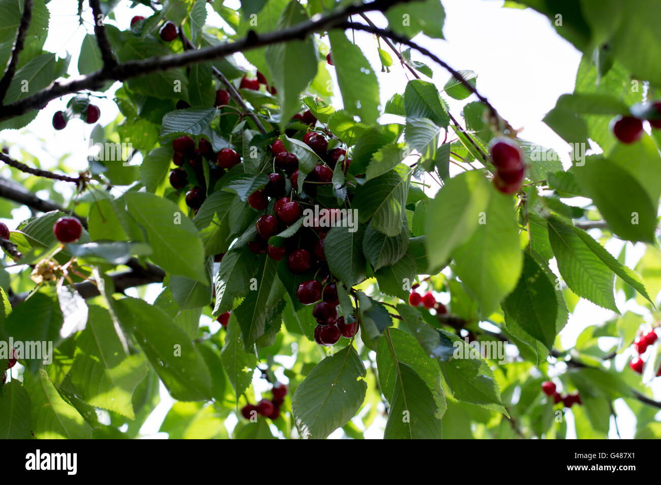 branch of ripe red sweet cherry - Stock Image