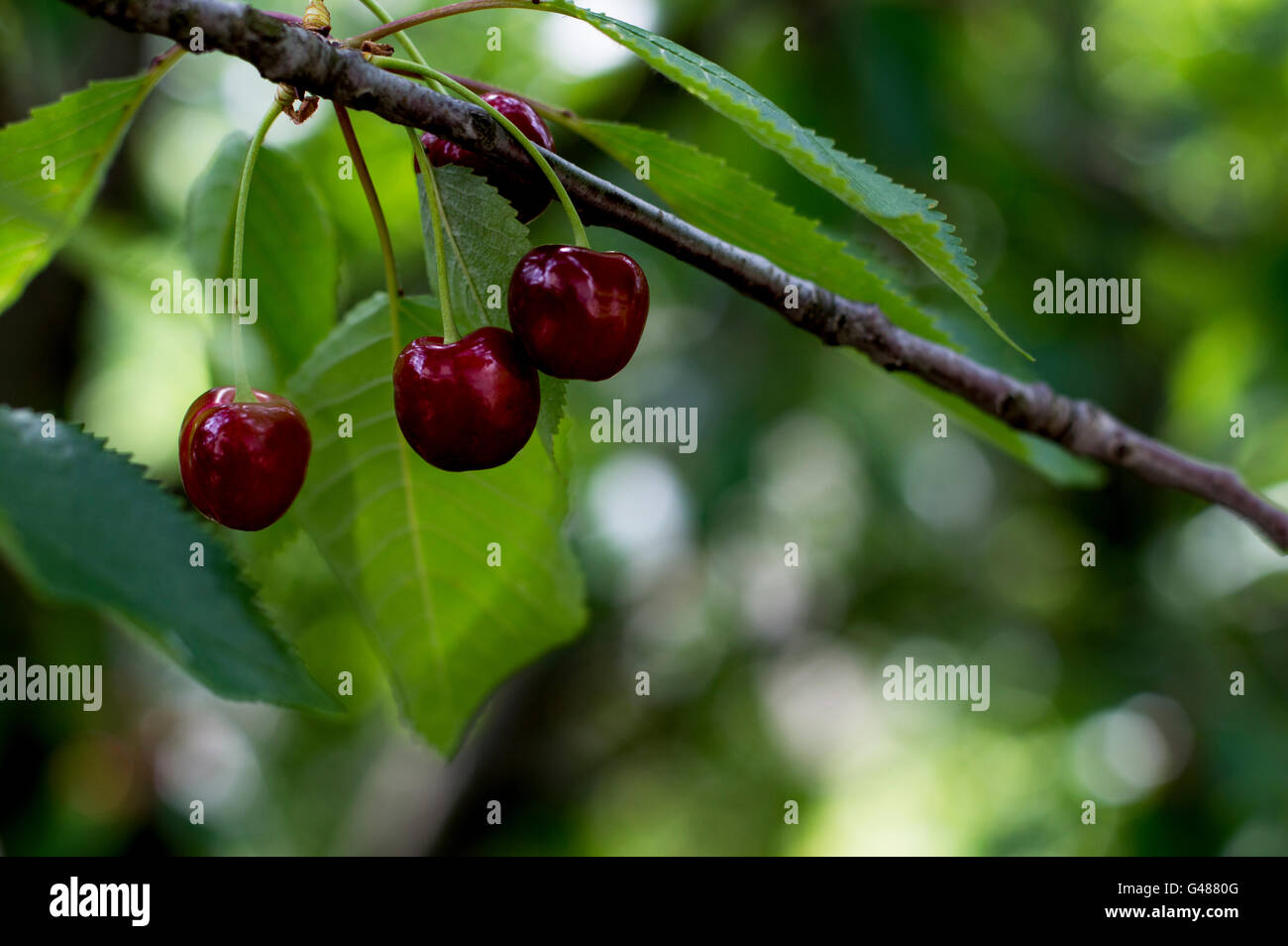 three ripe red sweet cherries on a branch, macro - Stock Image