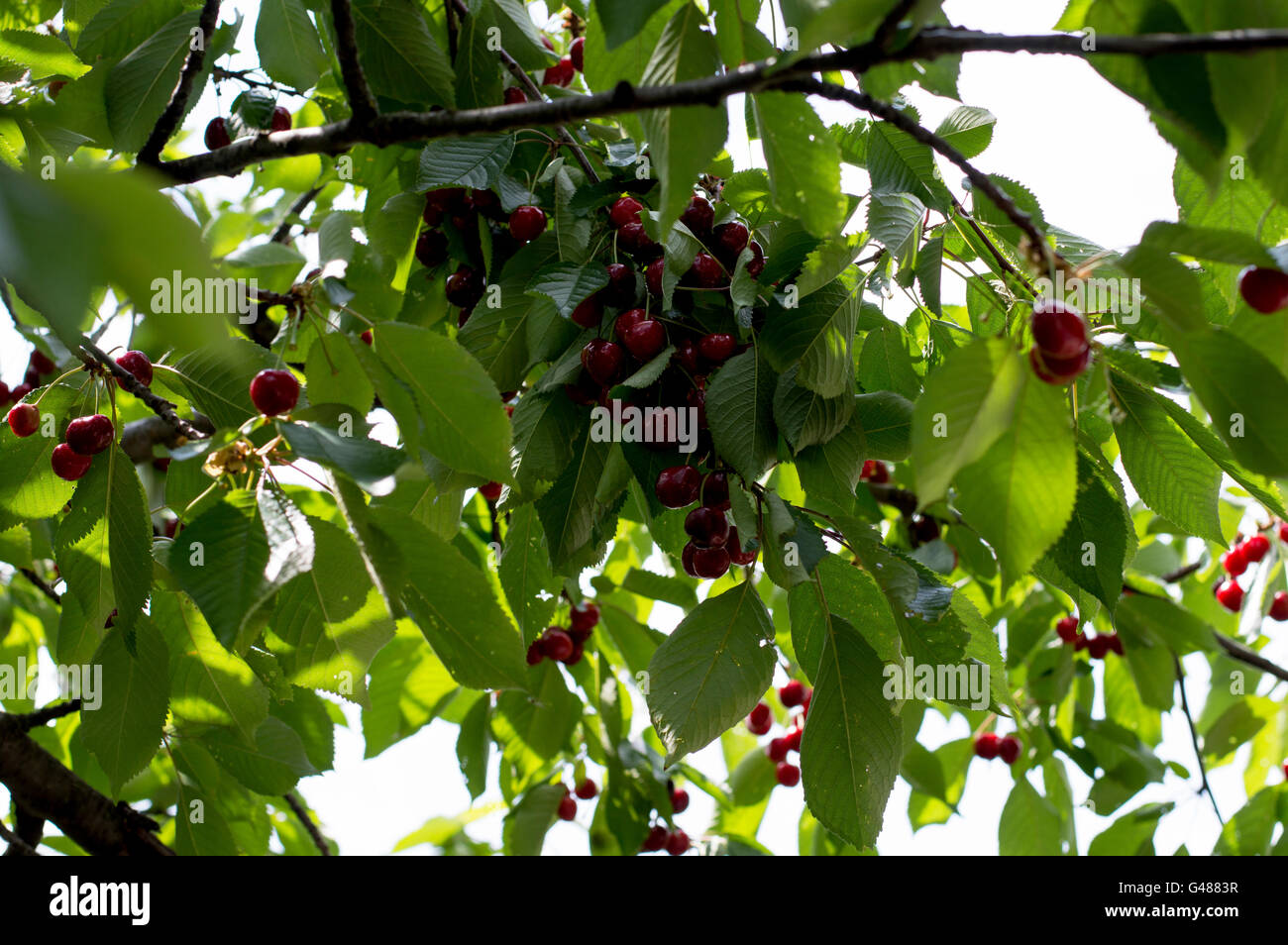 branch with a large number of ripe sweet cherry - Stock Image