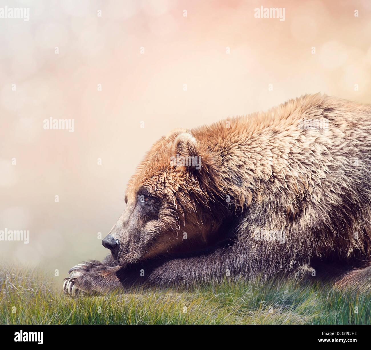 Brown Bear Resting,close up shot - Stock Image