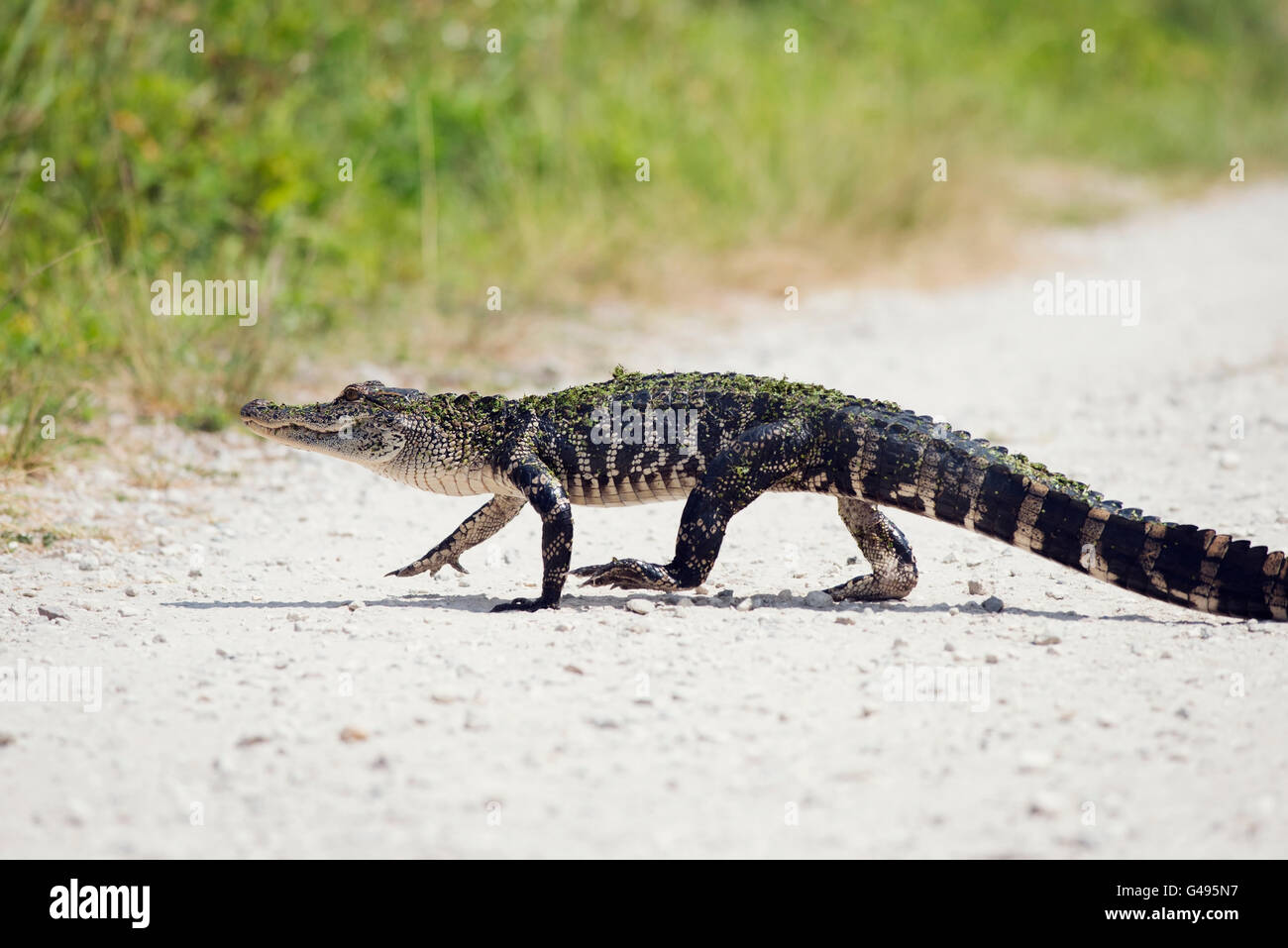 Young Alligator Crossing the Road Stock Photo
