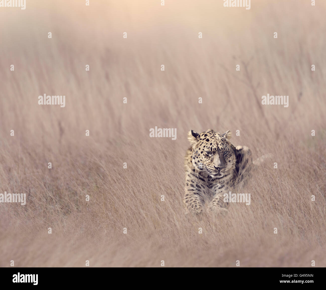Leopard Resting in Tall Grass - Stock Image