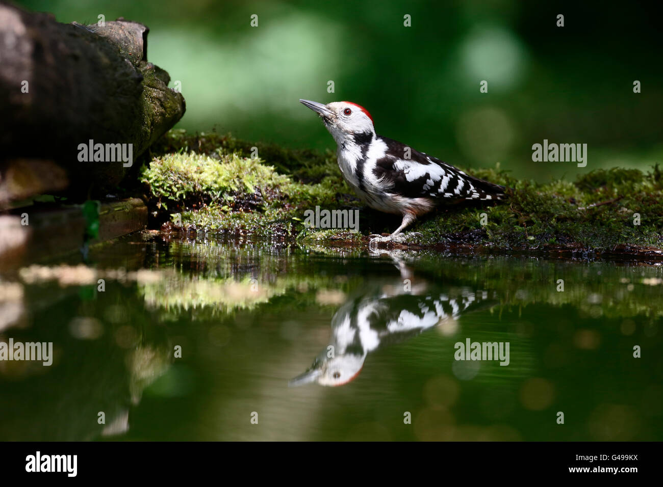 Middle-spotted woodpecker, Dendrocopos medius. single bird by water, Hungary, May 2016 - Stock Image