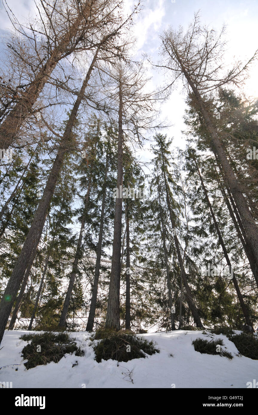 Tall conifer trees in High Tatras - Stock Image