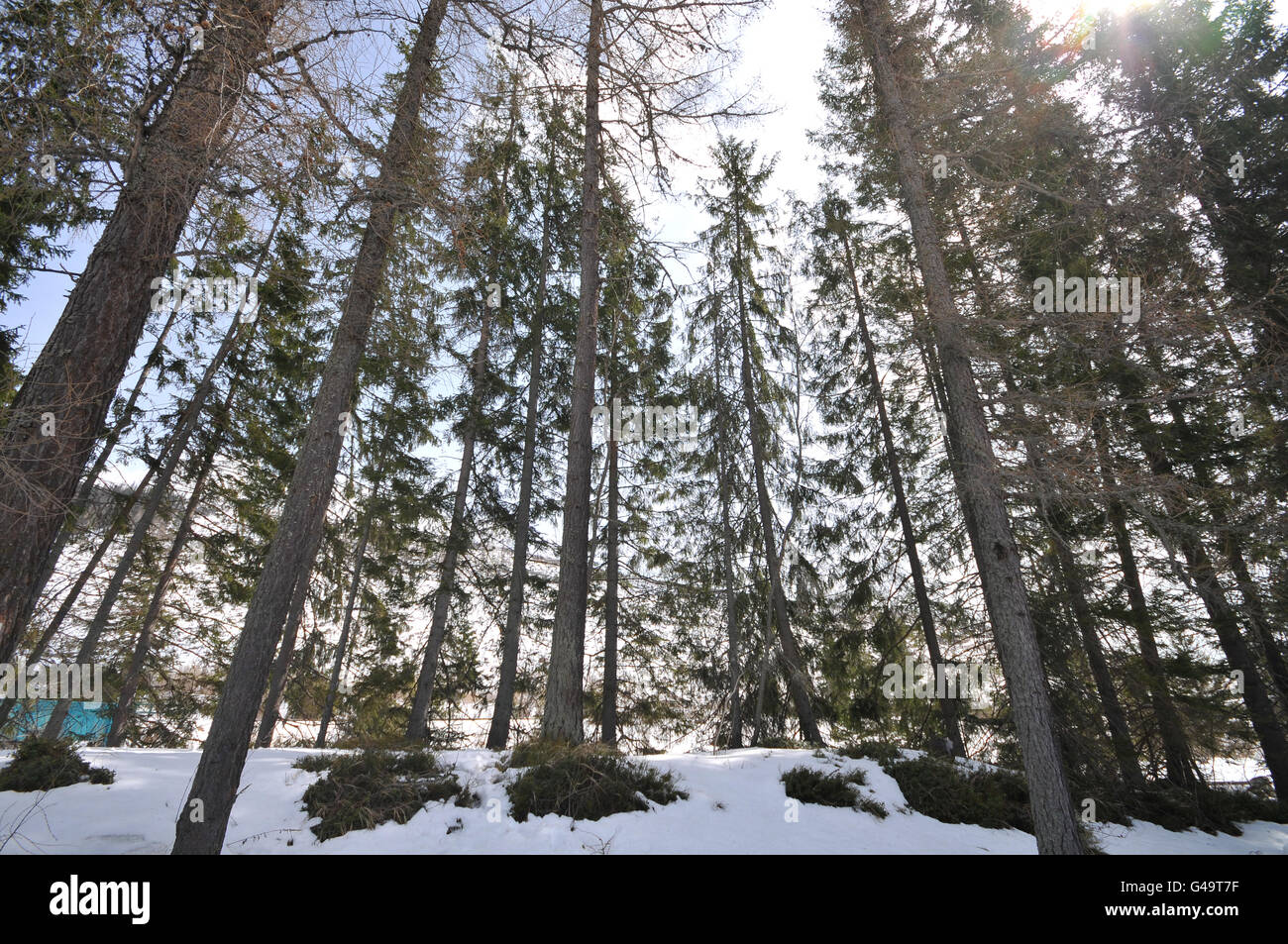 Tall conifer trees in High Tatras. - Stock Image