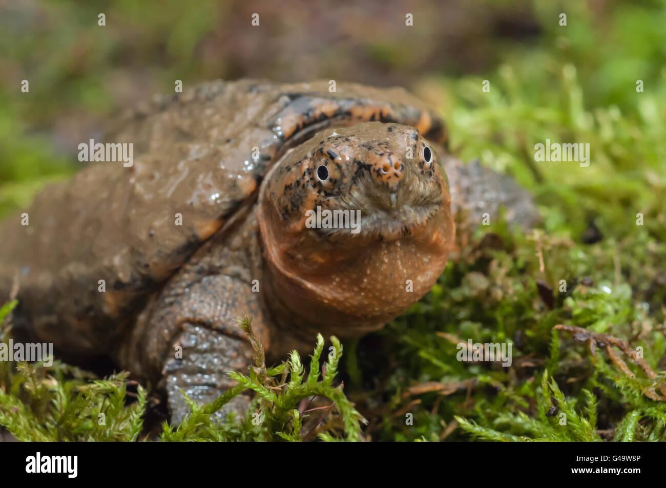 Common snapping turtle, Chelydra serpentina serpentina, juvenile Stock Photo