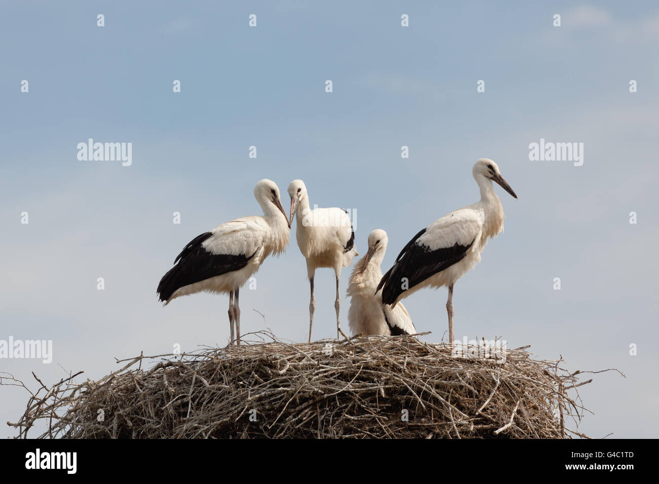 Young baby birds of a white stork in a nest against the blue sky - Stock Image