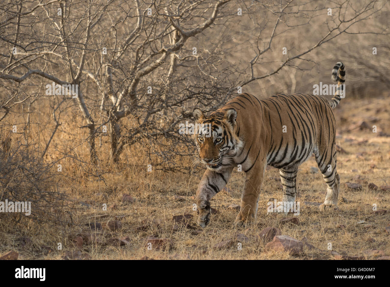 Bengal tiger (Panthera tigris tigris), Ranthambore National Park, India, Asia - Stock Image