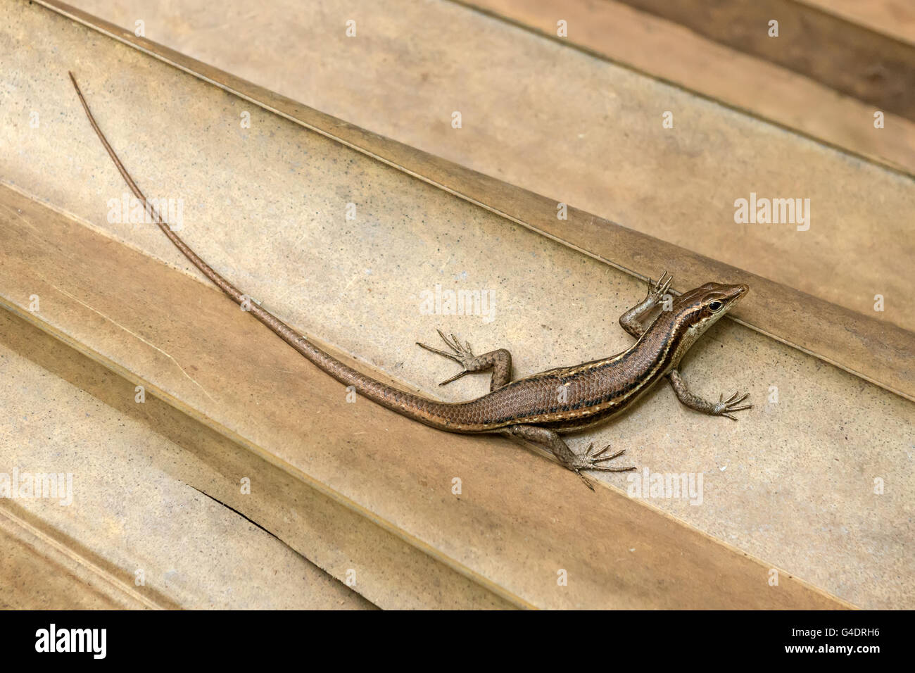 Trachylepis Seychellensis endemic species also called seychelles skink or Mabuya on a palm tree leaf - Stock Image