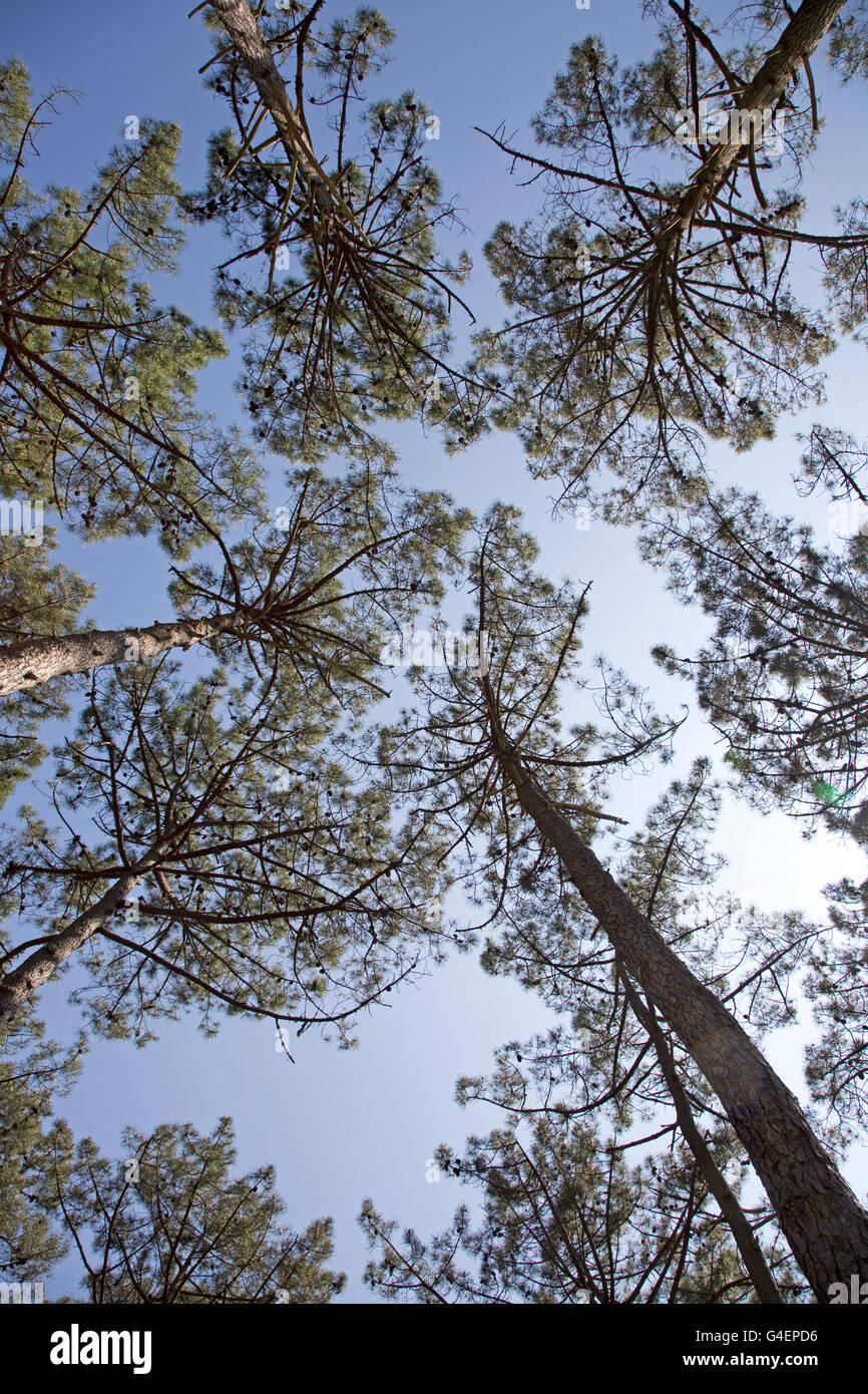 Worm's eye view pine trees blue sky Dune of Pyla Southern France - Stock Image