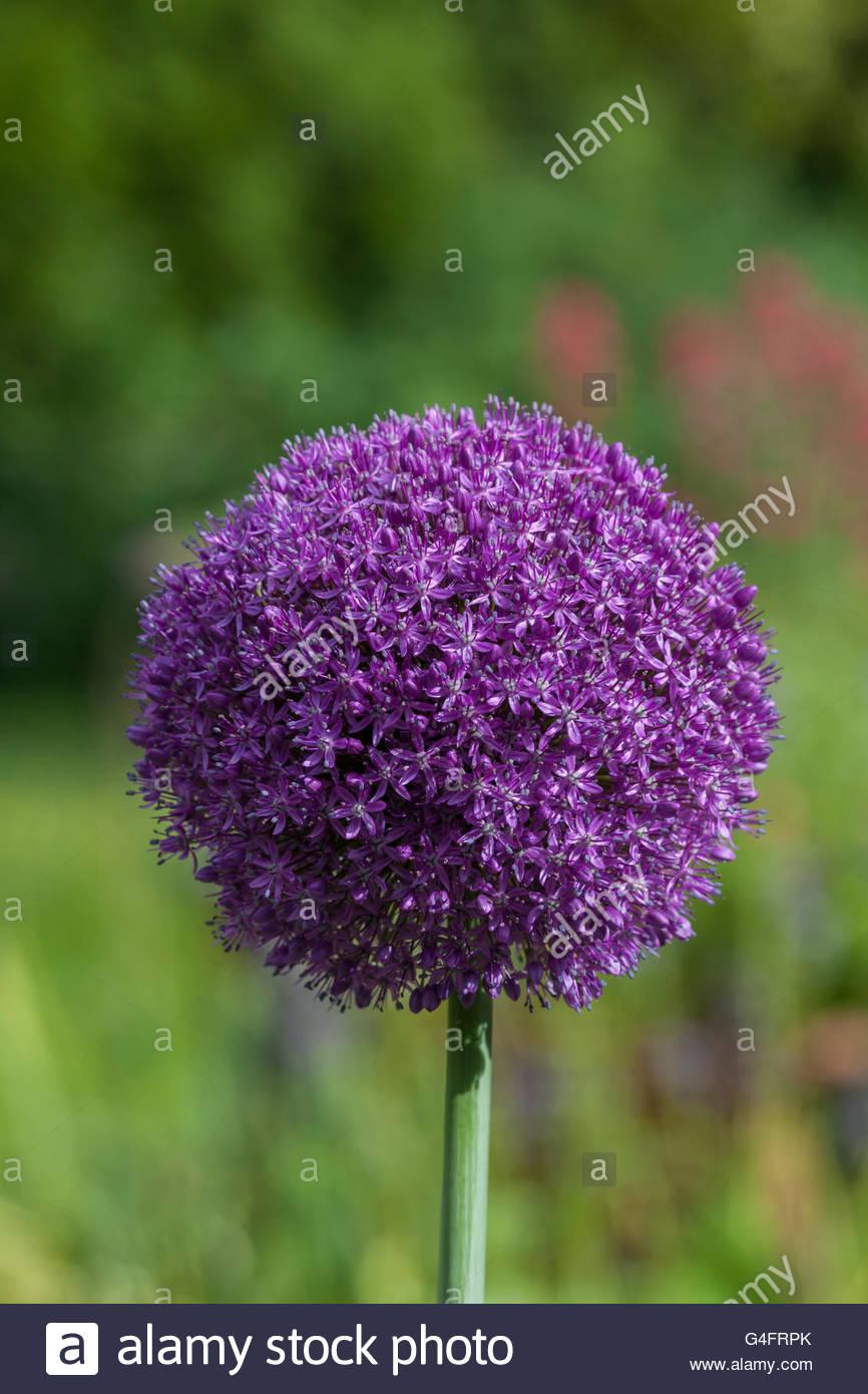Allium 'Ambassador' - Stock Image