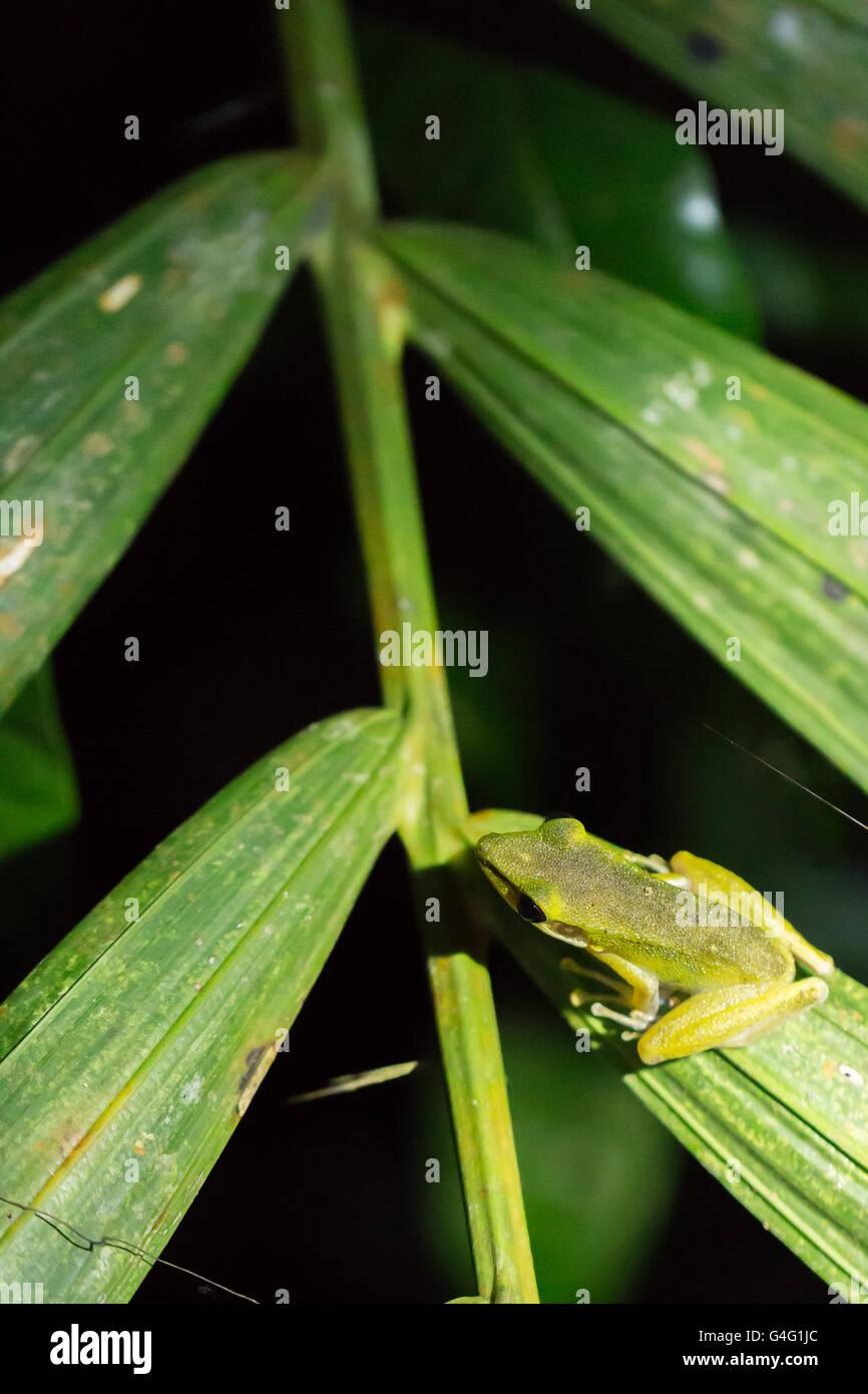 White-lipped frog (Hylarana raniceps), Bako National Park, Sarawak, Borneo - Stock Image