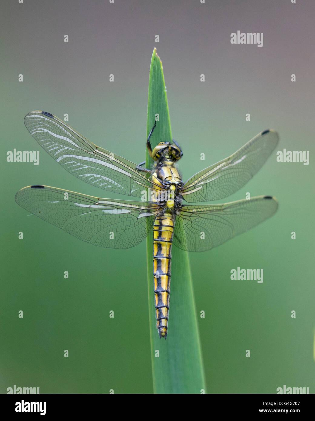 Female Black-tailed Skimmer dragonfly - Stock Image
