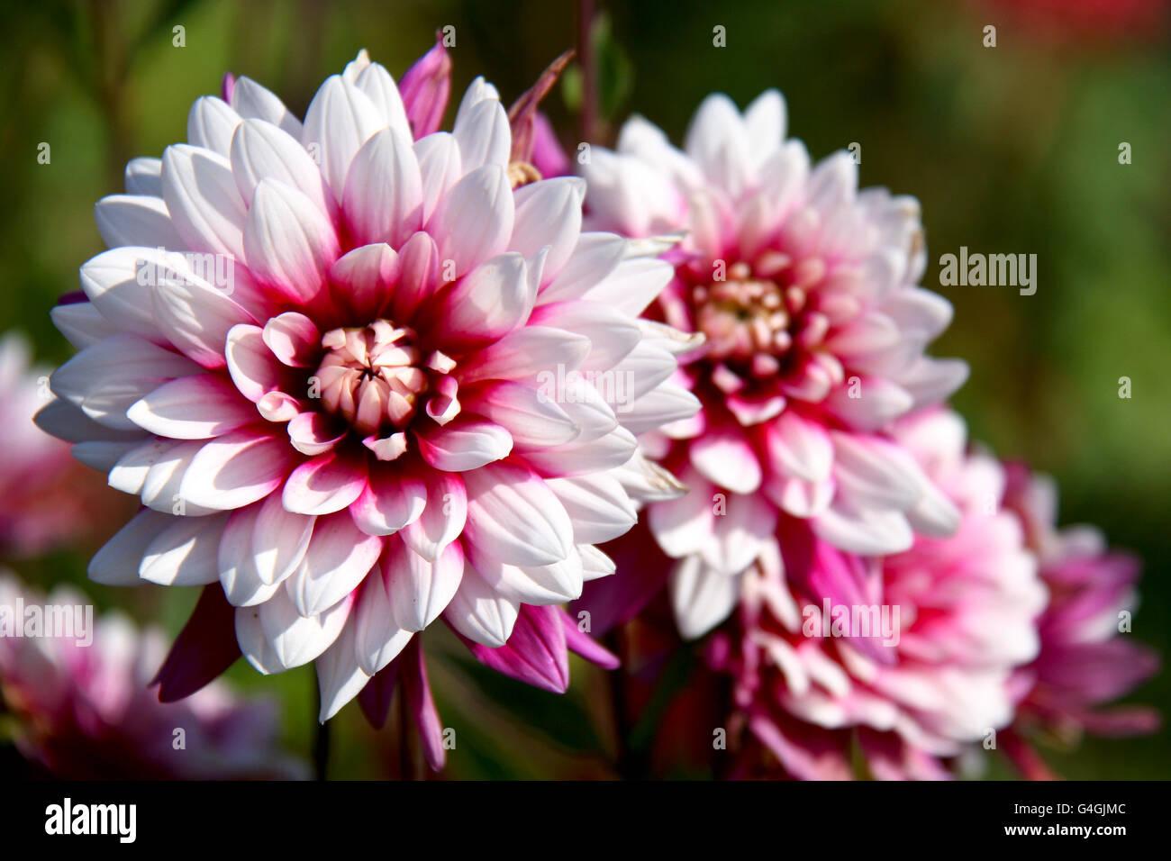 Beautiful autumn flowers - Dahlia aster family. - Stock Image