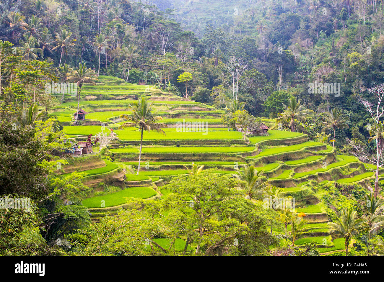 Crops of rice fields on a hot sunny afternoon near Ubud, Bali, Indonesia - Stock Image