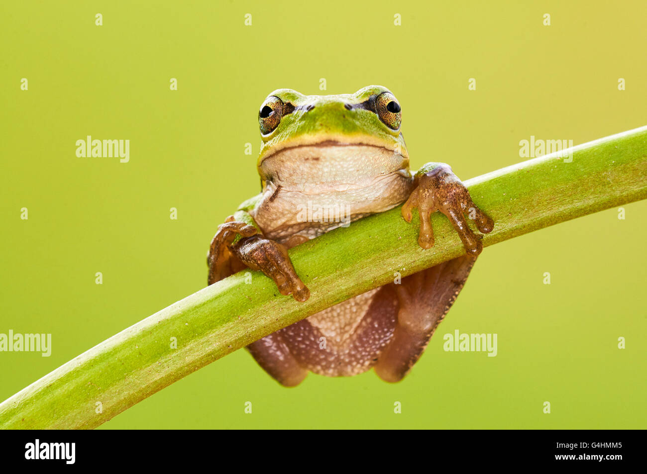 Hila arborea, european tree frog is a small, green tree frog Stock Photo