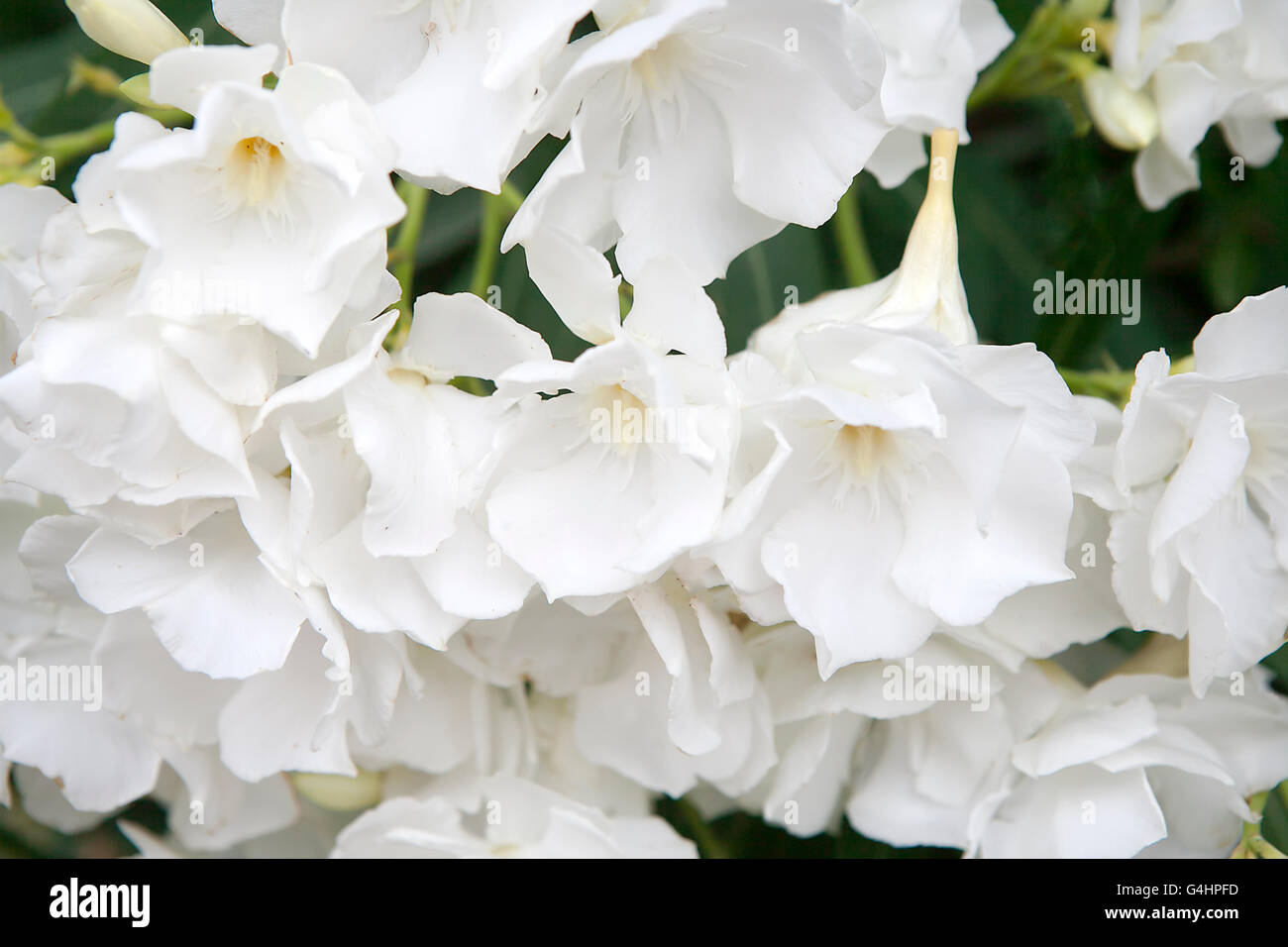 White Oleander Flowers As A Background Stock Photo 106111697 Alamy