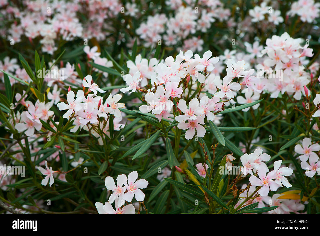 Oleander blossom stock photos oleander blossom stock images page white oleander flowers as a background stock image mightylinksfo
