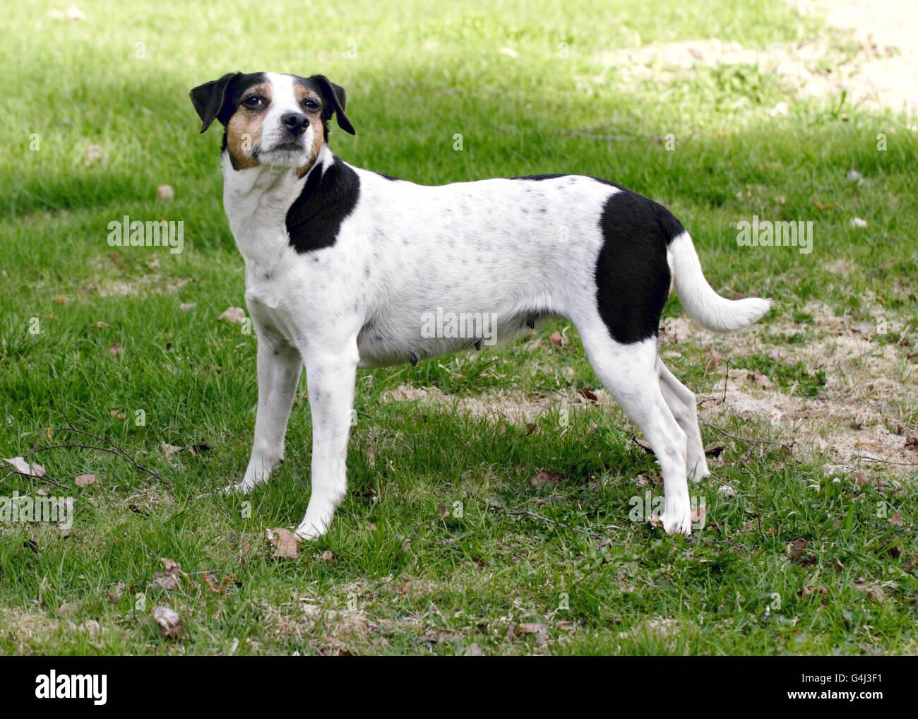Danish Swedish farm dog Stock Photo