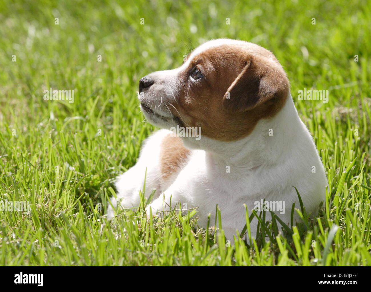 Danish Swedish farm dog - Stock Image